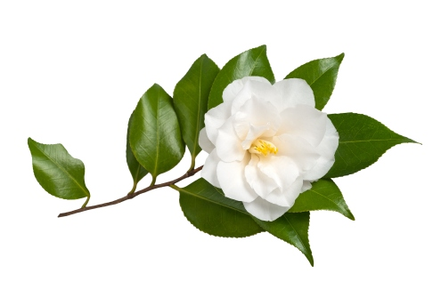 camellia-sinensis-leaf.jpg