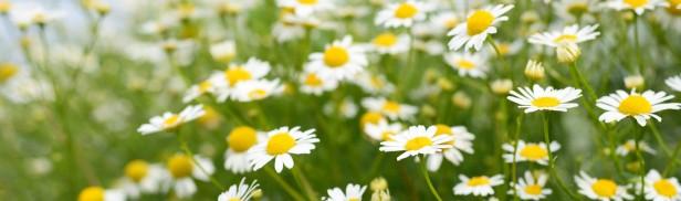 Matricaria-Flower-3-1688x500.jpg