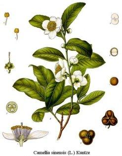 camellia_sinensis_drawing1450611822.jpg